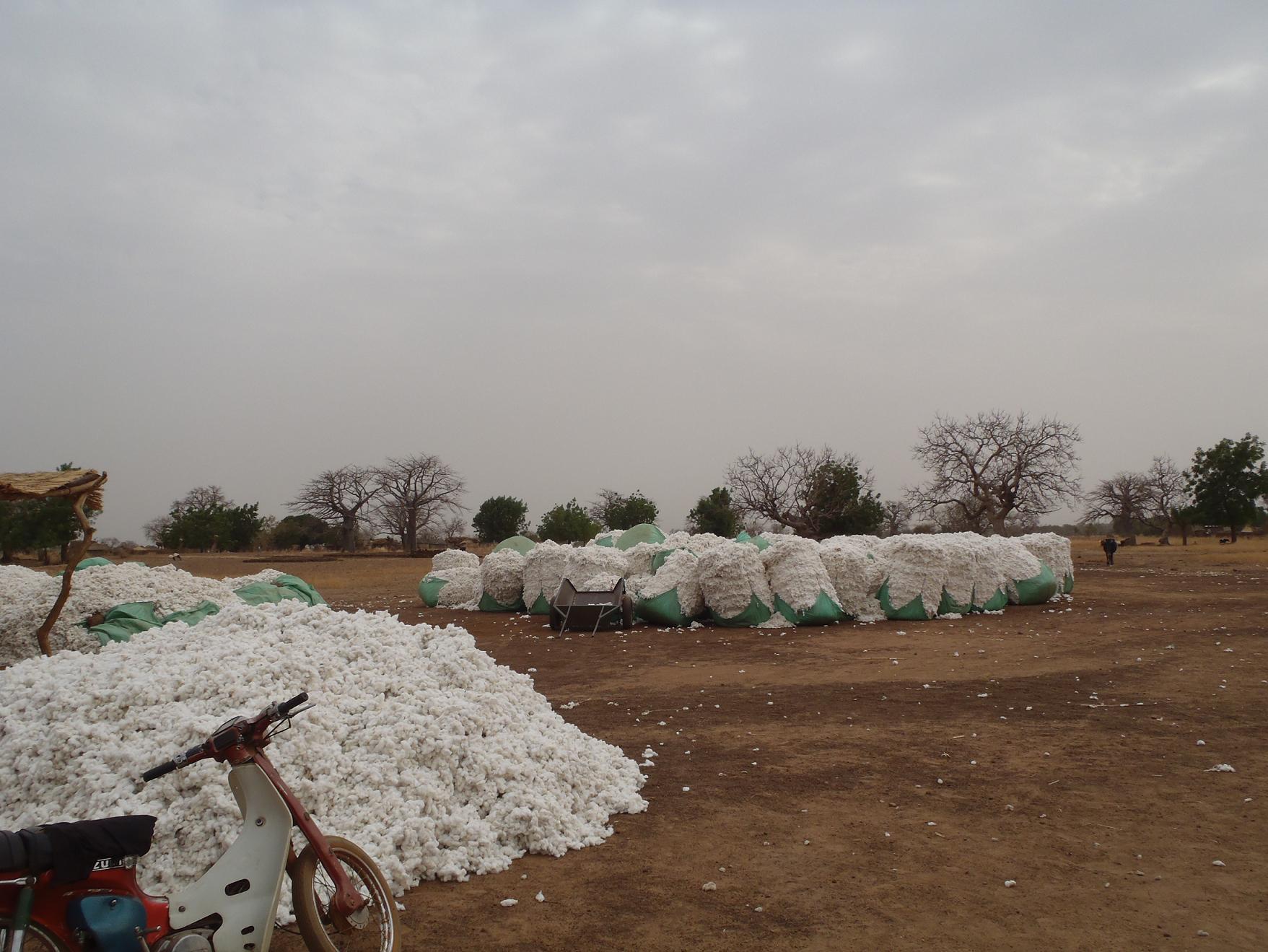 Recolte de coton