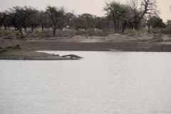 Un caiman